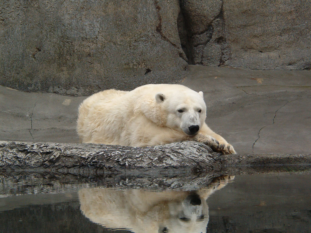 Polar Bear at the Oregon Zoo (Click for wallpaper)
