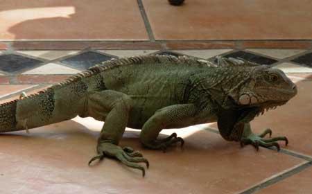 An iguana hangs out in Aruba.