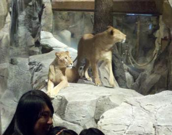 The lions in the MGM Grand.